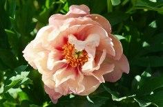 KOPPER KETTLE. Ziedi ir trīs krāsu salikums- sarkana, dzeltena un oranža – vara krāsā, 16 cm diametrā. Ārējās vainaglapas lielākas, atliektas, iekšējās mazākas. Piemīt intesekciju grupas īpatnība- nesen stādīti krūmi veido puspildītus ziedus, pēc 3 gadiem veido pildītus ziedus. Vidēji vēlīna šķirne, līdz 75 cm augsti ceri. Anderson, R.F., 1999.